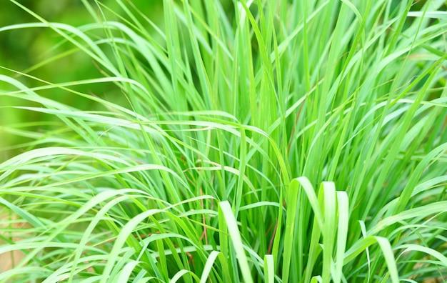 Cytryny trawy roślina w ogródzie dla składników używać w tajlandzkim karmowym kucharstwie i ziele. liść trawy cytrynowej