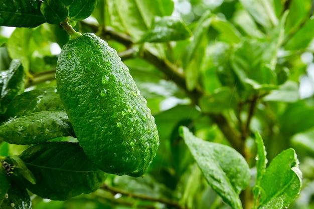Cytryny w ogrodzie po deszczu rano