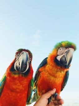 Cz? Owiek Posiada Dwa Kolorowe Ara Papugi Ara Na Ramieniu Darmowe Zdjęcia