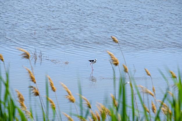 Czajka na szczudlach szuka pożywienia w płytkiej wodzie w słoneczny dzień