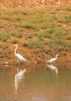 Czapla biała, ardea alba i czapla biała, egretta garzetta, dwa ptaki brodzące razem w sungei buloh w singapurze