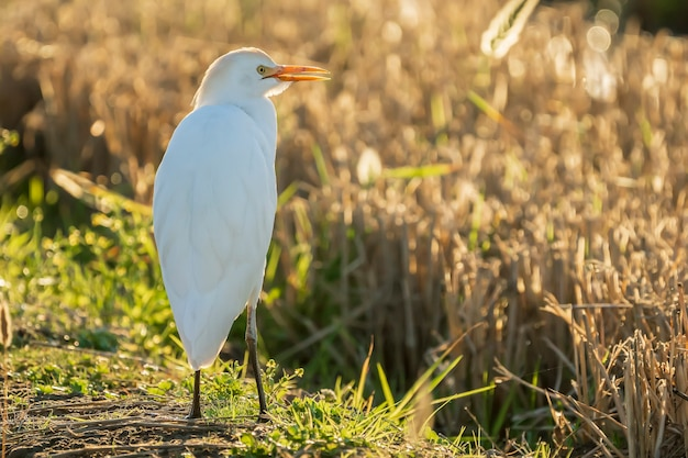 Czapla biała (bubulcus ibis) o wschodzie słońca na polu ryżowym w parku przyrody albufera w walencji, walencja, hiszpania.