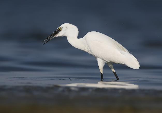 Czapla biała (egretta garzetta) stoi w spokojnej, błękitnej wodzie i trzyma złowioną rybę w dziobie