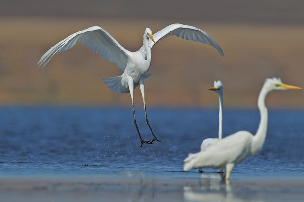 Czapla biała ląduje na niebieskiej wodzie obok innych ptaków i blisko nich