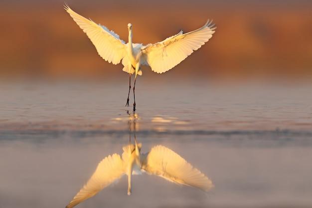 Czapla biała ląduje na wodzie wczesnym rankiem. niezwykła perspektywa i delikatne poranne światło.