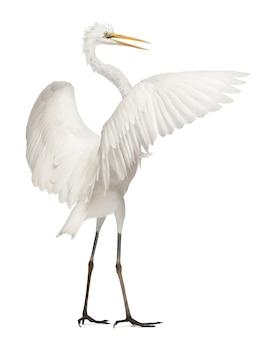 Czapla biała lub czapla biała lub czapla biała ardea alba stojąca na białym tle