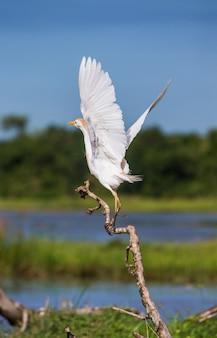 Czapla biała startuje z suchej gałęzi na tle malowniczego krajobrazu