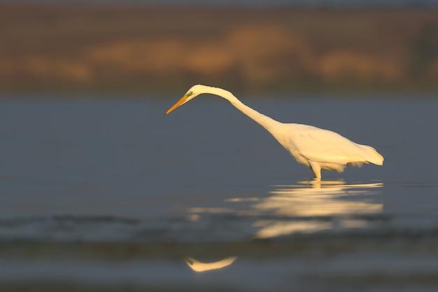 Czapla biała stoi w spokojnej wodzie z odbiciem w miękkim świetle poranka
