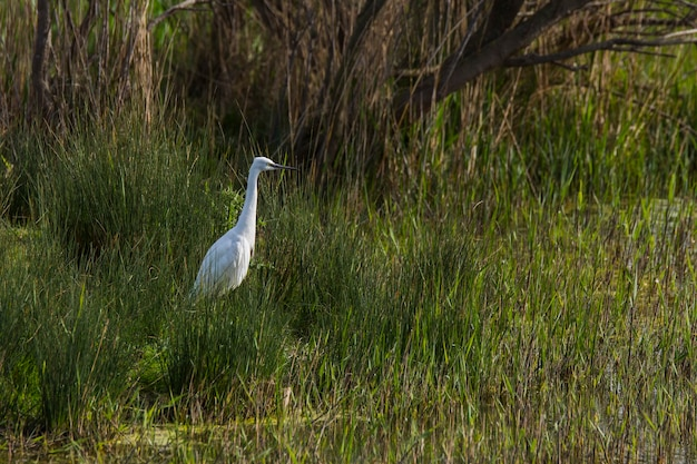 Czapla biała w rezerwacie przyrody aiguamolls de l'emporda w hiszpanii.