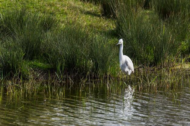 Czapla biała w rezerwacie przyrody aiguamolls de l'emporda w hiszpanii