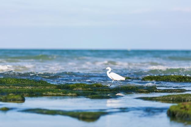 Czapla (egretta garzetta), piękny wodny ptak łowiący ryby nad morzem