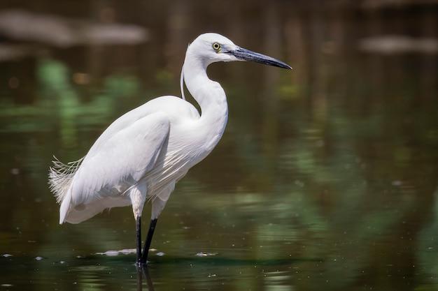 Czapla (egretta garzetta) szuka jedzenia na bagnach. ptak. zwierząt.