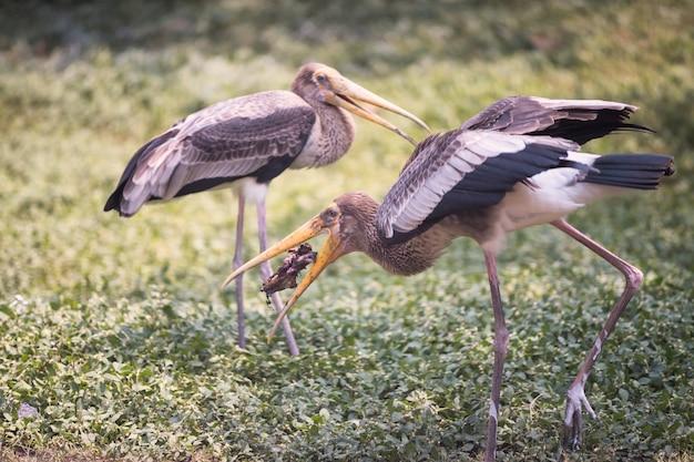 Czapla lub egret zjadają martwe zwierzę
