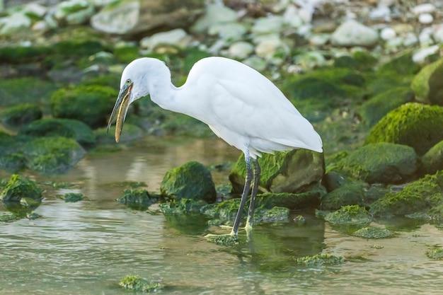 Czapla mała jedząca węgorza w rzece ze skałami z zielonym mchem, spain.v