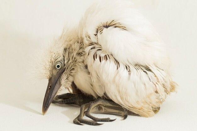Czapla mała ptak egretta garzetta na białym tle