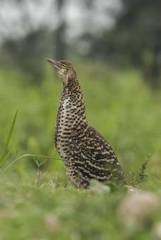 Czapla nocna stojący ptak na trawie z tło zamazane pole