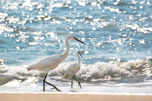 Czapla poluje na plaży varkala, kerala, indie. pomimo turystyki czaple nadal żyją w zwyczajowych miejscach.