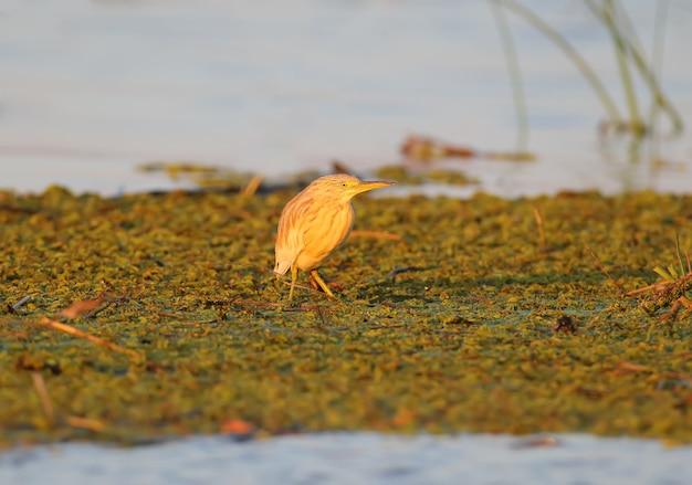 Czapla pospolita stoi na roślinach wodnych w delikatnym porannym świetle