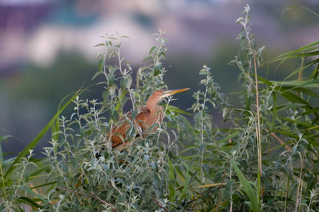 Czapla purpurowa (ardea purpurea) zostaje zastrzelona wczesnym rankiem siedząc w gęstych gałęziach drzewa w promieniach miękkiego światła