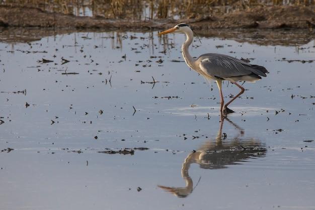 Czapla siwa (ardea cinerea) połowów na polu ryżu w dzień uprawy o zachodzie słońca w albufera w walencji.