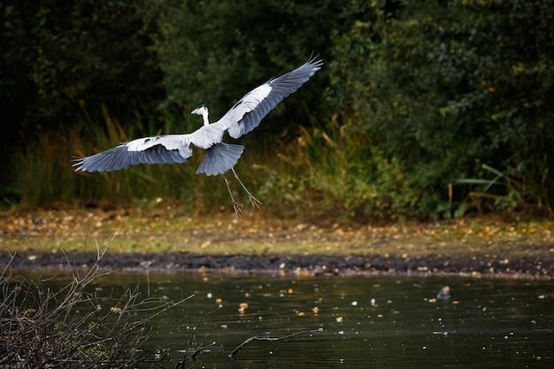 Czapla siwa przelatująca nad jeziorem z zielenią w tle