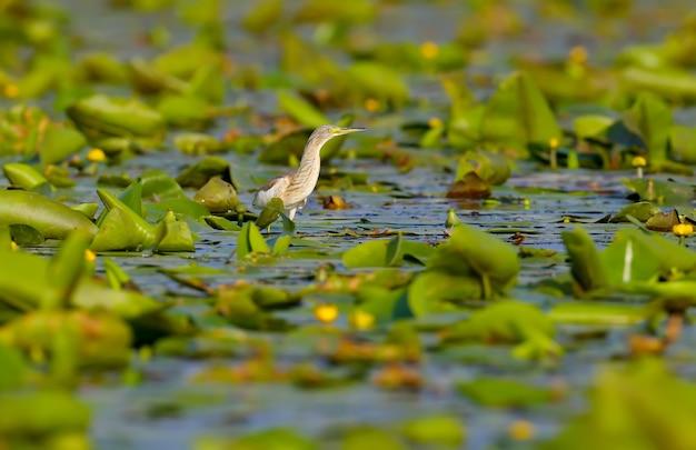 Czapla squacco stoi na zielonej trzcinie nad jeziorem