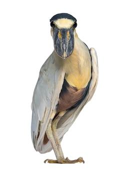 Czapla żółtodzioba; boatbill - cochlearius cochlearius