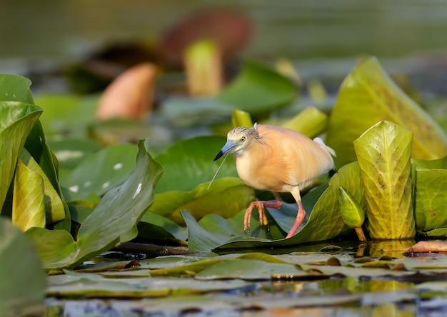 Czapla zwyczajna (ardeola ralloides) stoi na liściach roślin wodnych i wypatruje ofiary w promieniach delikatnego porannego światła.