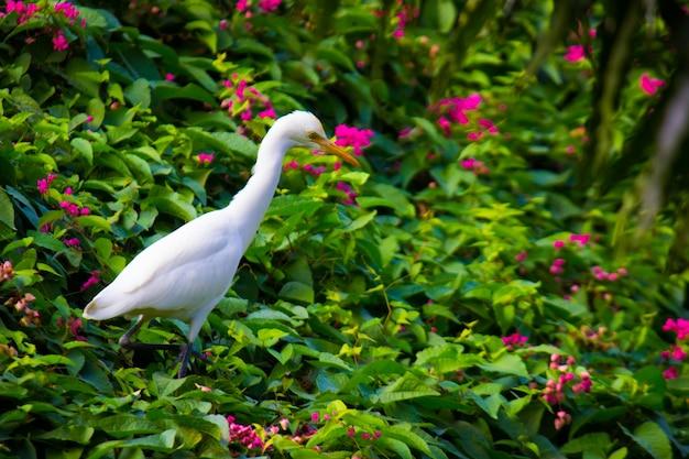 Czapla zwyczajna lub znana jako bubulcus ibis stojący mocno w pobliżu roślin dla owadów i szkodników