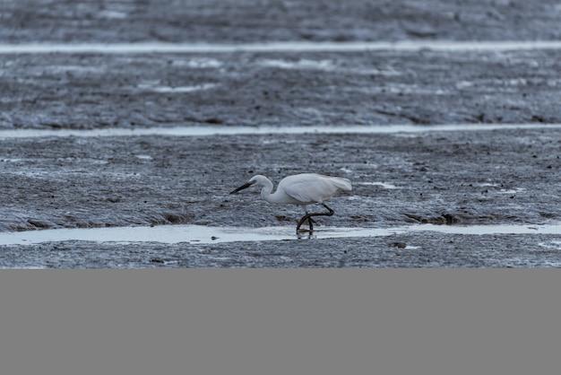 Czaple na plaży szukają jedzenia
