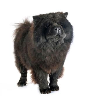 Czarna chow chow