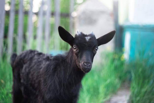 Czarna koza dziecko na ścianie zielonej trawie na zewnątrz.