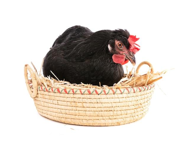 Czarna kura w wiklinowym koszu na białym tle