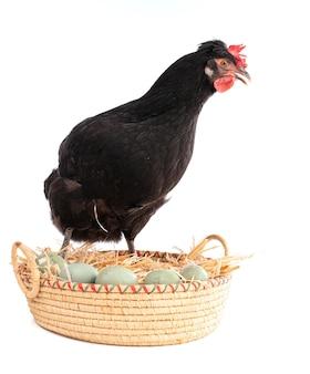 Czarna kura w wiklinowym koszu z jajkami na białym tle