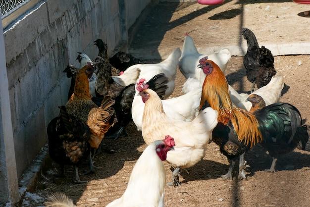Czarna kura z kurczaka, która ma pióra wzdłuż szponów