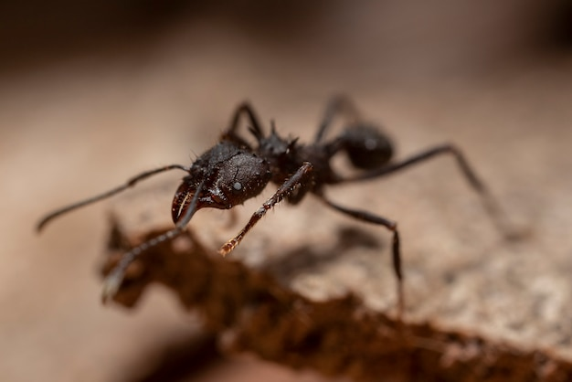 Czarna mrówka chodzenie po drewnie