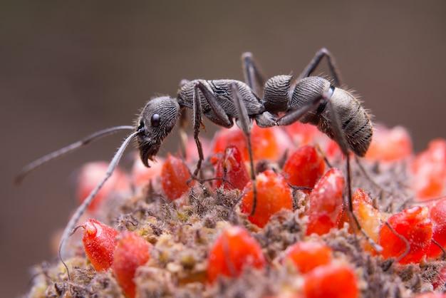 Czarna mrówka na kwiacie