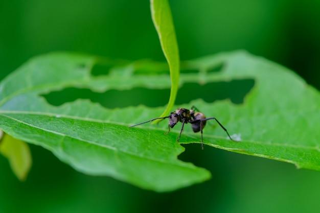 Czarna mrówka na zielonym liściu