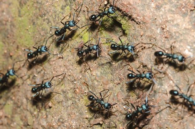 Czarna mrówka na ziemi szuka jedzenia. do gniazda.