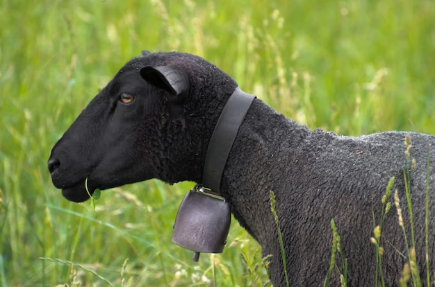 Czarna owca z dzwonkiem