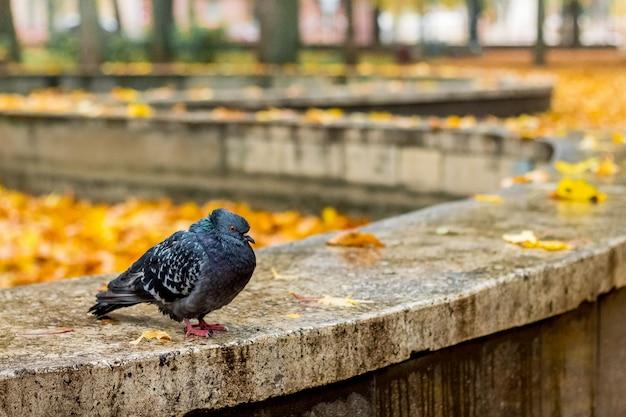 Czarna samotna gołąbka na żółtych liściach w parku. zimny jesienny dzień w parku miejskim