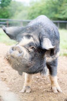 Czarna świnia mangulitsa w gospodarstwie. świnia domowa z bliska.