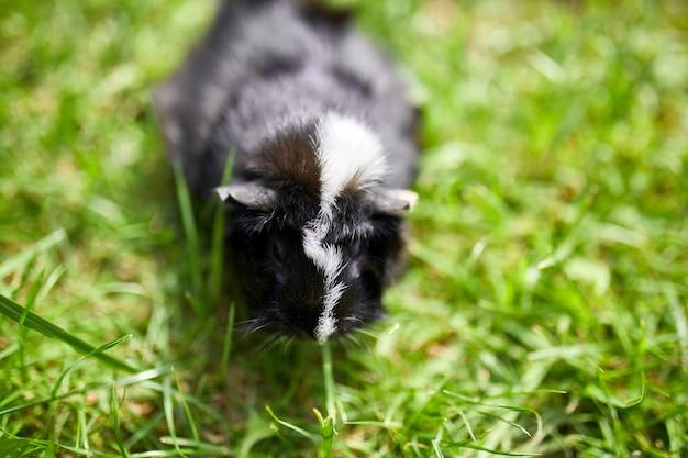 Czarna świnka morska siedzi na zewnątrz latem, świnka morska świnka morska perkal pasie się w trawie na podwórku swojego właściciela, kopia przestrzeń.
