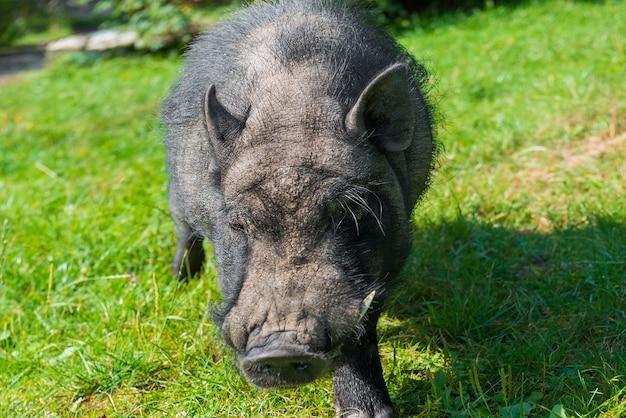 Czarna świnka morska z dużymi kłami na zielonym trawniku