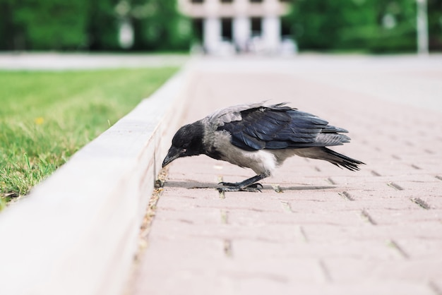 Czarna wrona chodzi na rabatowym pobliskim szarym chodniczku na zielonej trawie z copyspace. kruk na chodniku. dziki ptak na asfalcie. drapieżne zwierzę miejskiej fauny. upierzenie ptaka jest bliska.