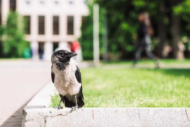 Czarna wrona chodzi po granicy w pobliżu szarego chodnika