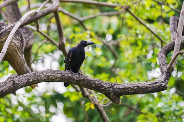 Czarna wrona na gałęziach drzew