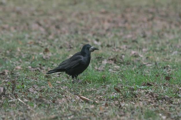 Czarna wrona stojąca na ziemi pełnej trawy i liści