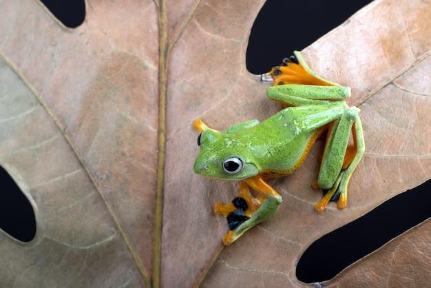 Czarna żaba drzewna błoniasta wśród suchych liści
