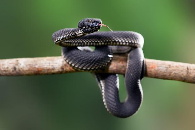 Czarna żmija trimeresurus purpureomaculatus namorzynowa jama żmija jadowity wąż